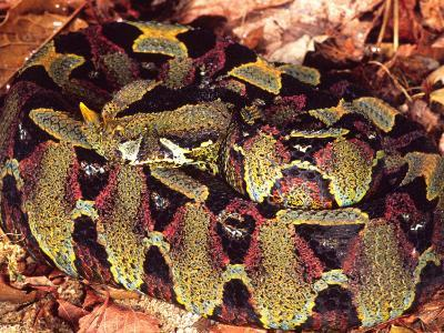 Rhinoceros Viper, Native to Central Africa