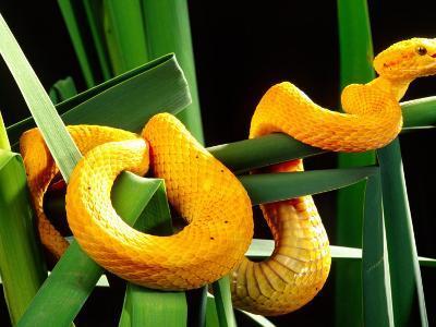 Golden Eyelash Viper