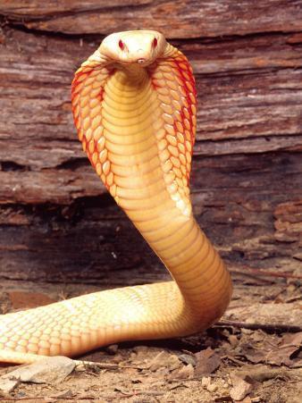 Albino Monocled Cobra, Native to SE Asia