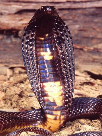Black Pakistan Cobra, Native to Pakistan