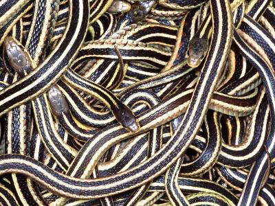 Canadian Garter Snake