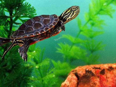 Red Belly Turtle Hatchling, Native to Southern USA