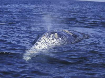 Gray Whale Back and Blow Hole, Baja, San Ignacio Bay, Mexico