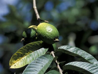 Ripening Guava Fruit, Wilson Botanical Gardens, San Vito, Costa Rica