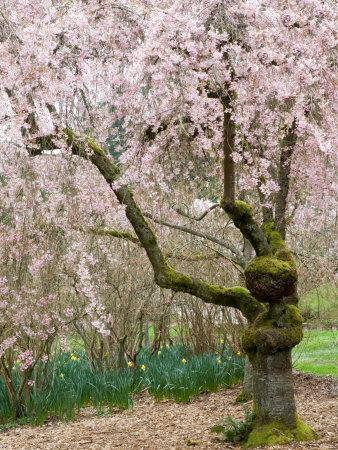 Cherry Trees Blossoming in the Spring, Washington Park Arboretum, Seattle, Washington, USA