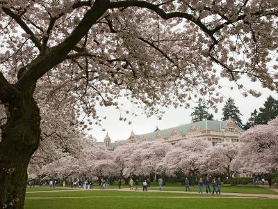 Cherry Trees in Bloom at the Quad, University of Washington, Seattle, Washington, USA