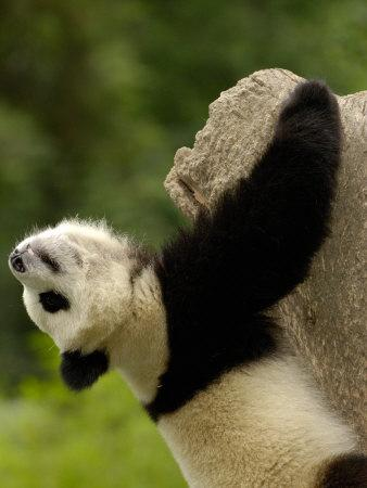 Giant Panda Baby, Wolong China Conservation and Research Center for the Giant Panda, China
