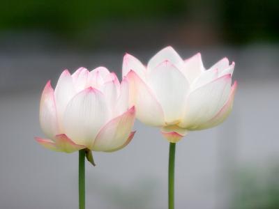 Flower, Kyoto, Japan