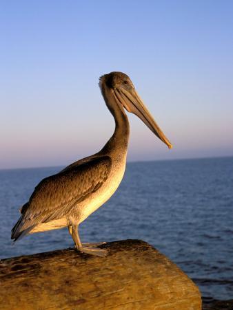 Pelican at Sunset, Sterns Wharf, Santa Barbara, California, USA