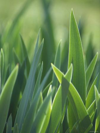 Iris Blades