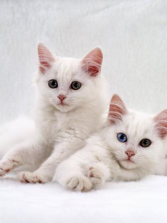 Domestic Cat, White Semi-Longhair Turkish Angora Kittens, One with Odd Eyes