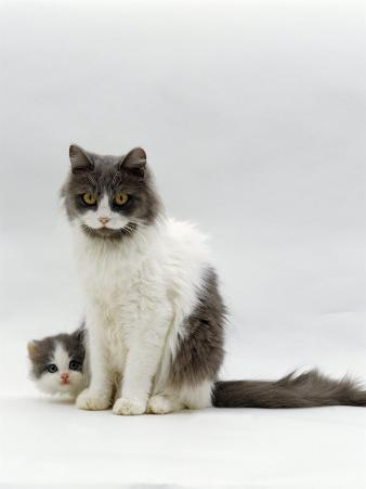 Domestic Cat, Blue Bicolour Persian-Cross Mother with Kitten