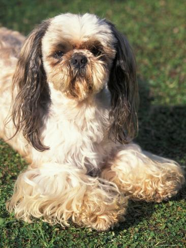 Shih Tzu Lying On Grass With Facial Hair Cut Short And Showing Hairy