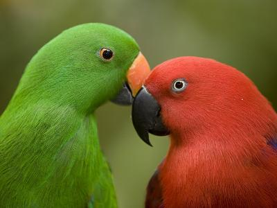 Closeup of Male and Female Eclectus Parrots, Respectively