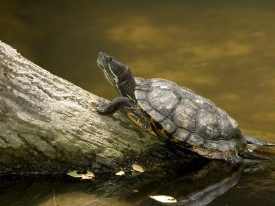 Closeup of an Unidentified Turtle Swimming to a Log, Singapore