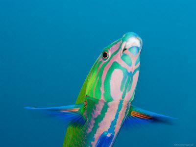 Closeup of a Brighly Colored Crescent Wrasse, Bali, Indonesia