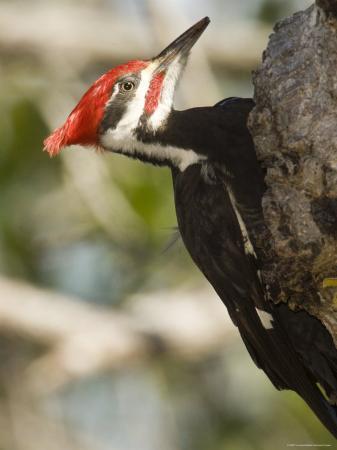 Closeup of a Pileated Woodpecker, Sanibel Island, Florida