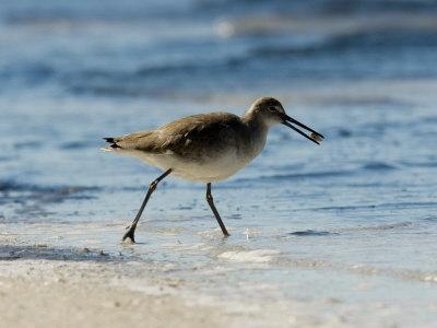 Closeup of a Willet on a Beach, Sanibel Island, Florida