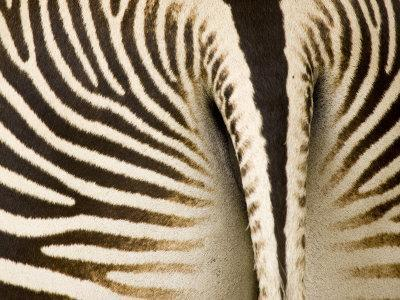 Closeup of a Grevys Zebra's Rear End