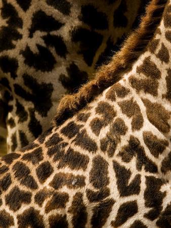 Closeup of Two Masai Giraffes