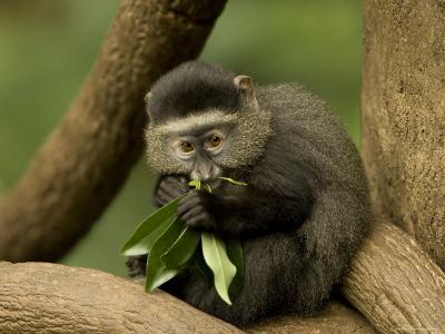 Blue Monkey from the Omaha Zoo's Lied Jungle, Nebraska