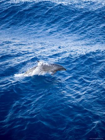 Bottlenose Dolphin Riding the Bow Wave of a Boat, French Polynesia