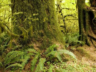 Closeup of a Tree Trunk and Ferns in a Rainforest, Washington
