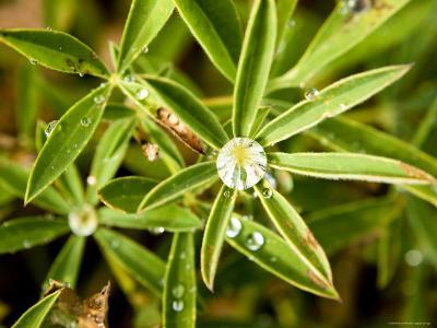 Closeup of Lupine Leaves with Water Drops, Washington