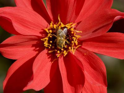 Closeup of a Honey Bee Visiting a Red Flower