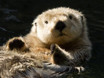 Closeup of a Captive Sea Otter Making Eye Contact