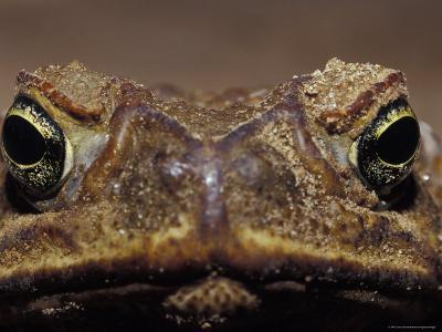 Close-Up of a Scowling, Grumpy, Ugly Cane Toad's Face, Australia