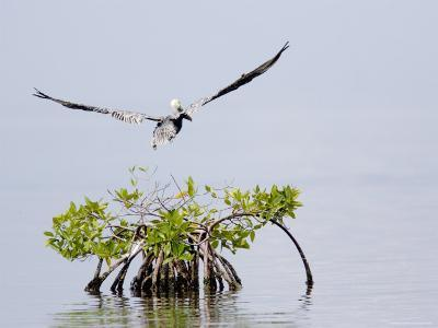 Brown Pelican Flies over a Red Mangrove, Belize