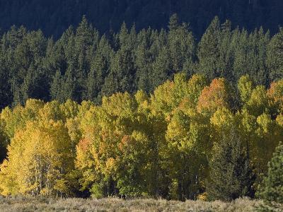 Aspen Fall Colors near Mammoth Lakes in the Eastern Sierra Mountains, California