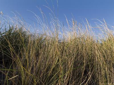 Close-Up of Aquatic Grass against a Blue Sky, Block Island, Rhode Island