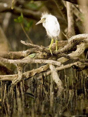 Cattle Egret Chick, Out of its Nest after Falling, Tampa Bay, Florida