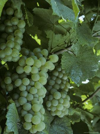 Chardonnay Grapes on the Vine, Washington