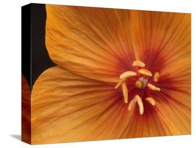 Arizona Poppy