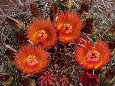 Barrel Cactus is Blooming in the Summer Monsoon