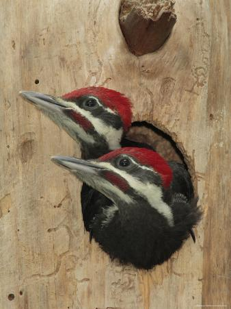 Baby Pileated Woodpeckers Peer from the Tree Hole Nest