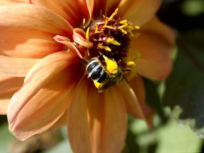 Close-Up of a Bee on an Orange Flower, Groton, Connecticut