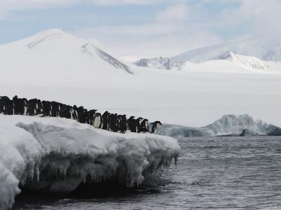 Adelie Penguins Waiting to Jump