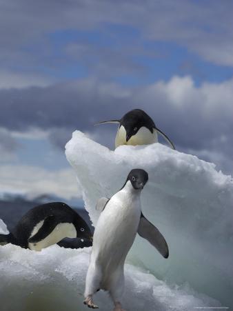 Adelie Penguins Jumping, Brown Bluff, Antarctic Peninsula, Antarctica