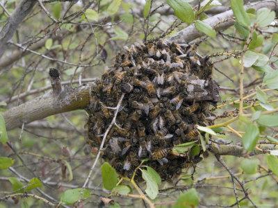 Bee Swarm on the Ventura River-Rancho el Nido Preserve, California