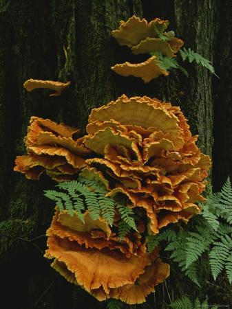 Close View of Sulphur Shelf Mushrooms Growing on a Tree Trunk, Alaska