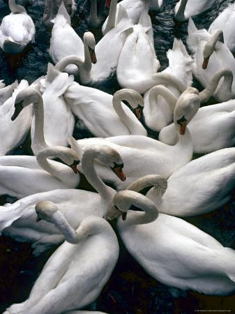 Denmark: Swans Gathered on a Lake in Copenhagen, Directly Above