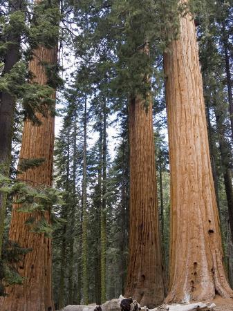 Giant Sequoias Trees above Round Meadow, California