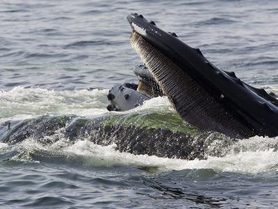 Humpback Whales Surface Feeding on Sand Eels, Massachusetts