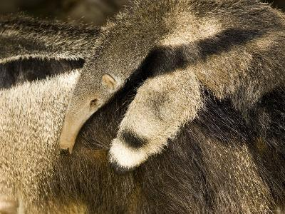 Giant Anteater Carrying Baby on Back