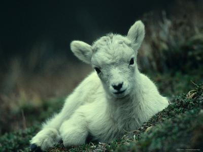 Dall Sheep Lamb Resting, Alaska