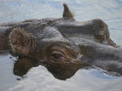 Hippopotamus Goes for a Swim at the Sedgwick County Zoo, Kansas